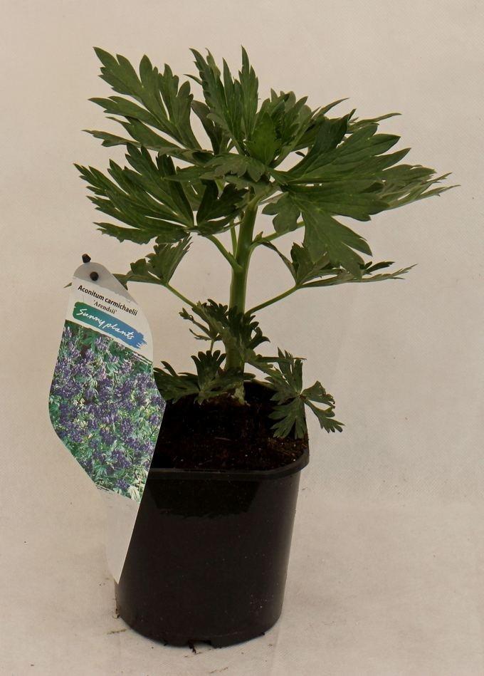 Aconitum carmichaelii 'Arendsi'