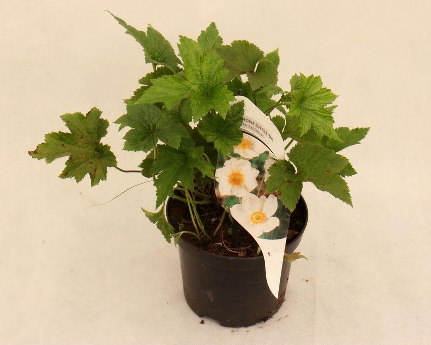 Anemone ×hybrida 'Andrea Atkinson'
