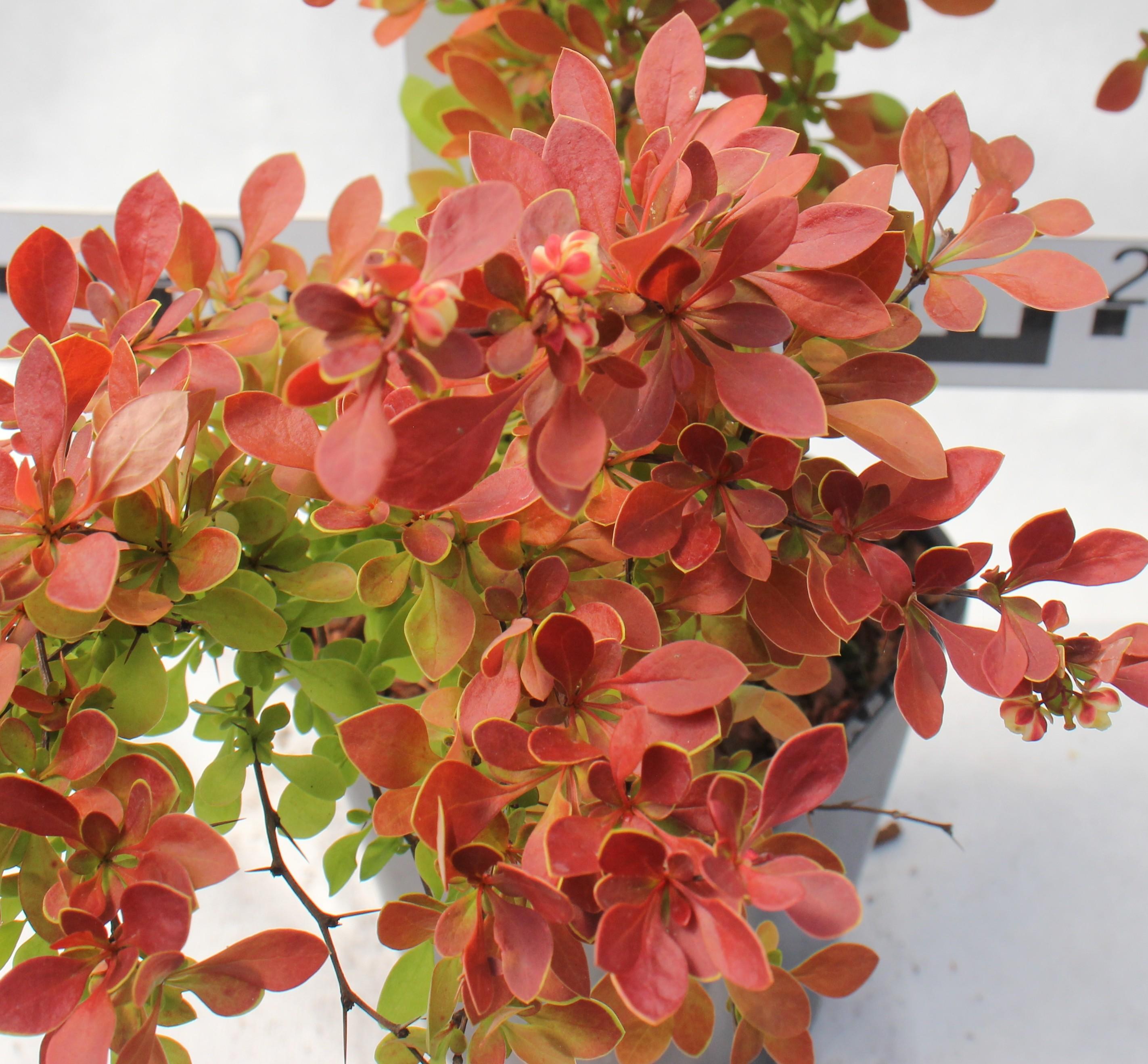 Berberis thunbergii 'Coral' PBR