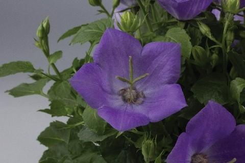 Campanula carpatica 'Perla Blue'