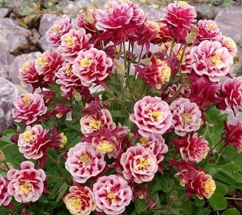 Aquilegia vulg. 'Winky Double Red/Rose